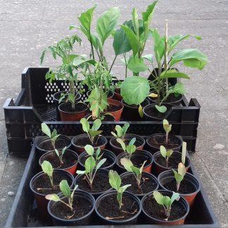 Plants à repiquer